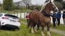 Video Horse pulls car