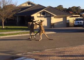 kangoeroevechten
